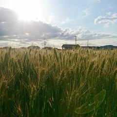 麦/日焼け対策/日焼け防止/日焼け/紫外線カット/紫外線対策/... 麦の収穫はまもなくです。  今日は全国で…