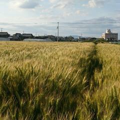 麦/日焼け対策/日焼け防止/日焼け/紫外線カット/紫外線対策/... 麦の収穫はまもなくです。  今日は全国で…(2枚目)