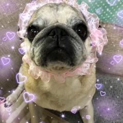 休日/お家時間/パグさん/癒し おかしゃんがピンクのおりぼんを買ってくれ…