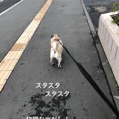 パグさん/お散歩 お散歩🎵お散歩🎵
