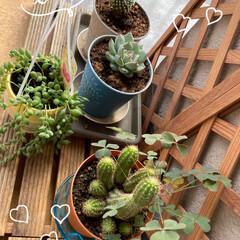 パグさん/お家時間/ピーチネックレス/サボテン/多肉植物/植物/... 我が家のベランダの少ない緑達 いつも植物…(2枚目)