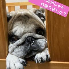 お家時間/犬の目の病気/癒し/犬のいる暮らし まろんさんあれこれ〜  左目からめやにが…(4枚目)