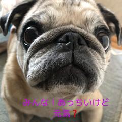 お家時間/パグさん 今日も気温の高い北海道💦💦 まろんさんも…(5枚目)