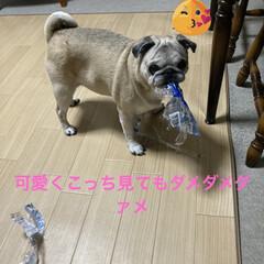 イタズラ/ストレス発散/犬のいる暮らし/お家時間 ラーメンのゴミ見つけた❣️ ワーイ🙌ワー…(5枚目)
