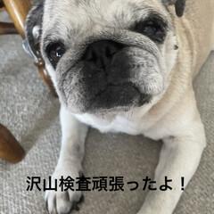 お家時間/犬の目の病気/癒し/犬のいる暮らし まろんさんあれこれ〜  左目からめやにが…(7枚目)