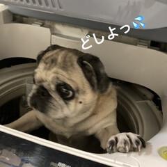 洗濯機/パグさん 洗濯されちゃうの❓まろんさん💦💦 大変だ…(3枚目)