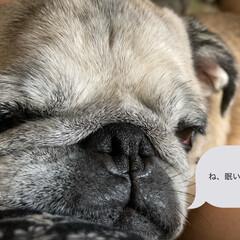 寝顔/パグさん/お家時間 こんばんは まろんだよ! 眠いのとお腹す…