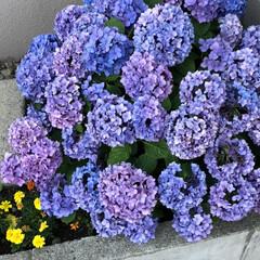 紫陽花 職場の最寄駅を反対側に降りたらこんな素敵…(3枚目)
