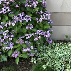 紫陽花 職場の最寄駅を反対側に降りたらこんな素敵…(4枚目)