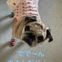犬用靴下/パグさん こんばんは♪ まろんしゃん♡今日も靴下履…