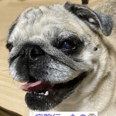お家時間/犬の目の病気/癒し/犬のいる暮らし まろんさんあれこれ〜  左目からめやにが…(6枚目)