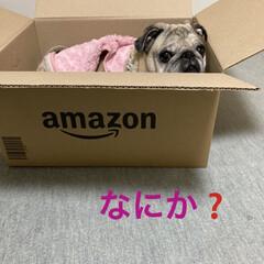犬のいる生活/癒し/段ボール/パグさん ピンポーン Amazonからお荷物が届き…