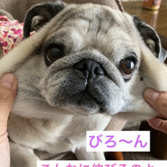 パグさん/犬のいる生活/癒し まろんさんだよ! びろーん🤣🤣 やってみ…