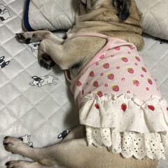 パグ 昨夜お姉ちゃんのベットでお行儀よく寝てい…