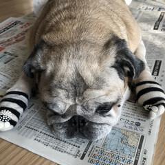 お昼寝/パグさん 新聞を開くとこのような状態に💦 まろんさ…(3枚目)