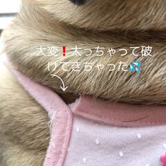 お家時間/パグさん 今日も気温の高い北海道💦💦 まろんさんも…(3枚目)