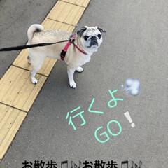 お家カフェ/犬のいる生活/お散歩/パグさん/カフェ風 まろんさんとお散歩〜♫ かなり寒くなって…
