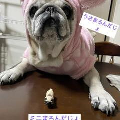 パグさん/うさぎのお洋服/癒し/犬のいる生活 今日は節分ですね〜 皆さんの節分投稿👹見…