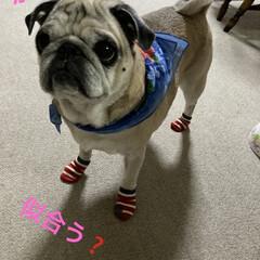 犬用靴下 キャンドゥに行ったら赤い靴下見つけたよ!…(4枚目)
