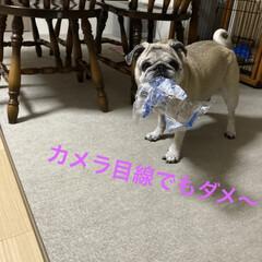 イタズラ/ストレス発散/犬のいる暮らし/お家時間 ラーメンのゴミ見つけた❣️ ワーイ🙌ワー…(2枚目)