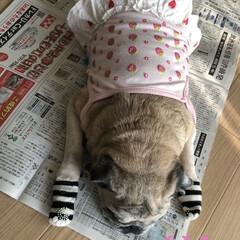 お昼寝/パグさん 新聞を開くとこのような状態に💦 まろんさ…(2枚目)