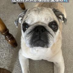 お家時間/犬の目の病気/癒し/犬のいる暮らし まろんさんあれこれ〜  左目からめやにが…(5枚目)