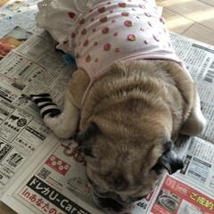 お昼寝/パグさん 新聞を開くとこのような状態に💦 まろんさ…(5枚目)