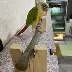 止まり木/ウロコインコ/野地板/棚/ダイソー TV上の鳥さん🦜の休憩スペースの作り直し…