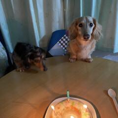 ゼリーケーキ🎂/ミニチュアダックスフンド/誕生日 今日は、ココの誕生日😍 病気を乗り越えて…(1枚目)