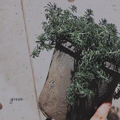 セメント鉢/アクタス/グリーン/多肉植物/おしゃれ/暮らし 春夏は、本当に元気になるんです。 このプ…
