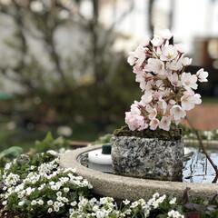 DIY/箱庭/桜/ガーデニング/睡蓮鉢/ビオトープ/... 箱庭の睡蓮鉢に桜🌸