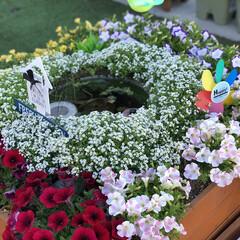ビオトープ/メダカ/寄せ植え/DIY/箱庭/ガーデニング 箱庭が満開です!