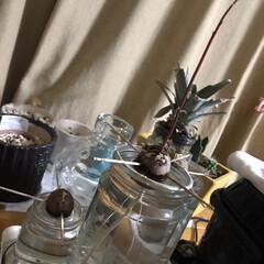観葉植物 アボカドの種、芽も根も大分伸びてきた〜 …