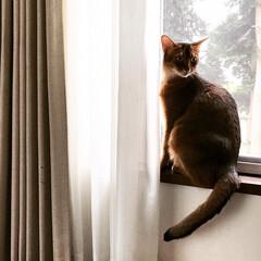 ショートヘアソマリルディ/ショートヘアソマリ/猫 今日は朝は異常に暑く、 朝は暑くて窓開け…
