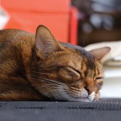 猫/ショートヘアソマリルディ/ショートヘアソマリ 眠たいねレオンくん😿