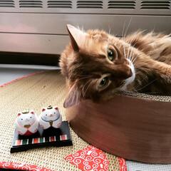 猫/ソマリレッド/ソマリ/ショートヘアソマリ/ショートヘアソマリルディ/ひな祭り 我が家の猫の雛人形と一緒のアポロン すご…
