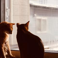 ショートヘアソマリ/ショートヘアソマリルディ/猫/ソマリ/ソマリレッド 今日も仲良しアポロンとレオンです
