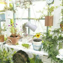 花のある生活/花のある暮らし/花/お花/diyウッドデッキ/DIY/... 近所のお肉屋さんでもらったひまわりの種🌻…