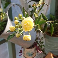 ガーデニング初心者/春/モッコウバラ/花のある生活/花のある暮らし/ガーデニング/... 今日は良いお天気でしたね🌞  朝、窓を開…(2枚目)