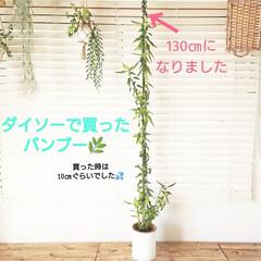 バンブー/植物/植物のある暮らし/グリーンのある生活/グリーンのある暮らし/グリーンインテリア/... 3、4年ぐらい前にダイソーで購入したバン…