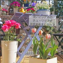 花のある暮らし/花のある生活/お花/チューリップ/ナチュラルガーデン/インテリア/... 少し芽が出始めたチューリップの球根を2月…