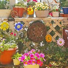 花のある生活/花のある暮らし/花/DIY女子/diyウッドデッキ/ウッドデッキ/... ペチュニアが日に日に大きくなってきていま…