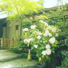 あじさい/明月院/風景/旅行/旅 こちらの写真は6月に鎌倉へ旅行に行った時…(3枚目)