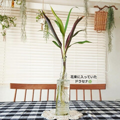グリーンインテリア/花束/水差しグリーン/ドラセナ/リビング/グリーンのある生活/... いつもリビングに飾っているドラセナです🌿…