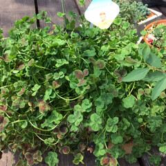 少し寂しい/春です/中学3年/娘の成長/草冠/四つ葉のクローバー/... 鉢植えの幸せの四つ葉のクローバーを娘が編…