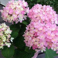 花壇作り/ライスフラワー/ガーデニング/お花が好き/紫陽花/暮らし 今日、お迎えしたピンクの紫陽花💕 小ぶり…