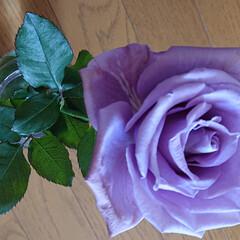 聖火/アプローズ/フクシア/カキツバタ/暮らし 薔薇の青い色基準はイギリスのキュー植物園…(2枚目)