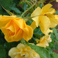 去年5月の薔薇/ミモザ/ピース/モッコウバラ/ビタミンカラー/黄色い花/... GW前くらいに咲き始めるモッコウバラのピ…(3枚目)