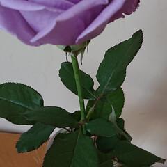 紫苑/ムーンダスト/アプローズ/青い花/暮らし 青い花は間もなく紫陽花が盛りですが、アプ…(4枚目)