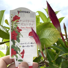 ワイルドストロベリー/多肉植物/ローズベリー/サンパラソル/暮らし 気温が上がり、我が家のサンパラソルの蕾が…